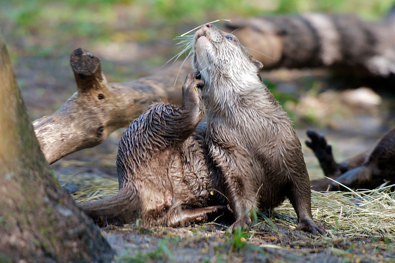 Itchy Otter