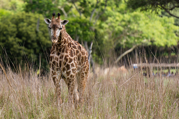 Giraffe In The Long Grass