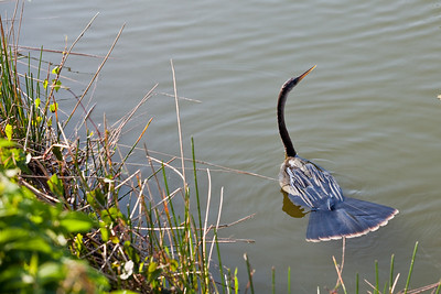 Anhinga going for a swim