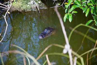 Royal Palm - Anhinga Trail - Alligator