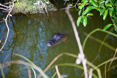 Royal Palm - Anhinga Trail - Alligator