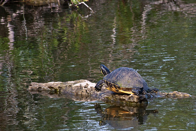Royal Palm - Anhinga Trail - Turtle