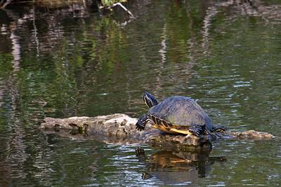Royal Palm - Anhinga Trail - Turtle