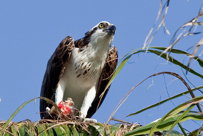 Osprey with fresh fish - crop of previous
