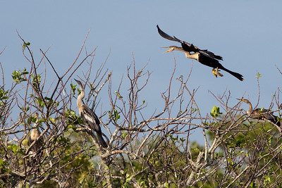 Anhinga in flight - crop of previous