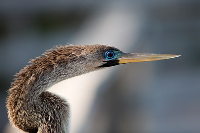 Anhinga profile, Everglades National Park, Florida