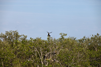 Anhinga coming in for landing