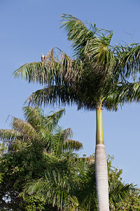 Osprey in Palm