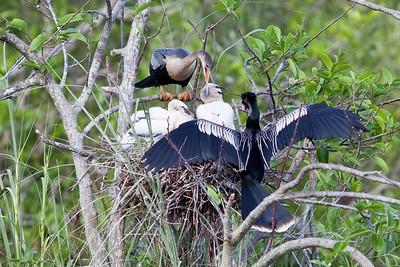 Anhinga nest - crop of previous