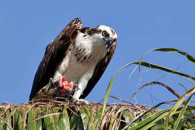 Osprey with lunch, Everglades National Park, Florida
