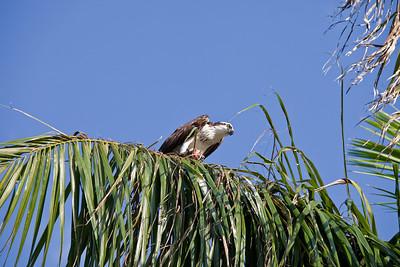 Osprey with fresh fish