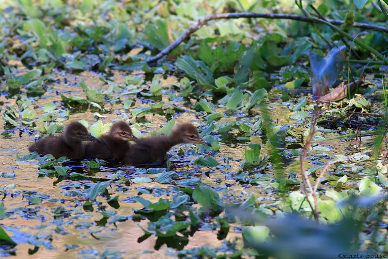 Limpkin chicks