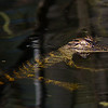 Baby gator in Big Cypress