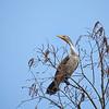 Double Crested Cormorant at Circle B Bar #3