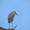 Great Blue Heron at  Circle B Bar #1