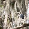 Great Blue Heron at Circle B Bar #2