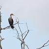 Double Crested Cormorant at Circle B Bar #1