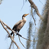 Double Crested Cormorant at Circle B Bar  #2
