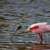 Roseate Spoonbill - Eco Pond - Flamingo,Florida - Everglades National Park
