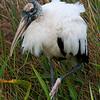 Wood Stork - Everglades National Park