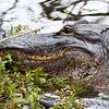 Alligator -  - Everglades National Park