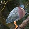 Green Heron - Everglades National Park