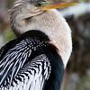 Anhinga - Everglades National Park