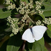 Great Southern White butterfly - Everglades National Park