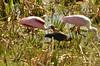 Roseate Spoonbill Ajaia ajaja) and Glossy Ibis (Plegadis falcinellus) at The Celery Fields, Sarasota, Florida