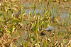 Reddish Egret (Egretta rufescens). The Celery Fields, Sarasota, Florida.