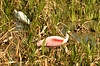 """Roseate Spoonbill - Ajaia ajaja<br /><br />The Roseate Spoonbill with its pink color is sometimes mistaken for the Flamingo, as both birds have a diet which includes the small crustaceans that give their feathers the pink color.<br /><br />The Spoonbill has a more """"stocky"""" build with much shorter legs, another characteristic that sets them apart from the Flamingo is the difference in their bills.<br /><br />The Spoonbill has a much longer bill that ends with the """"spoon"""" shape, the Flamingo has a short black bill that curves downward.<br /><br />Spoonbills (much like the Flamingo) feed by sweeping their bill back and forth, probing the shallow waters of marshes, rivers and other bodies of water.<br /><br />Touch sensitive receptors in their bills allow them to feel their prey in cloudy or muddy water, when something touches these receptors the bill snaps shut, this adaptation also allows them to feed in the darkness of night."""