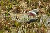 Snowy Egret (Egretta thula),Roseate Spoonbill (Ajaia ajaja), Reddish Egret (Egretta rufescens). The Celery Fields, Sarasota, Florida.
