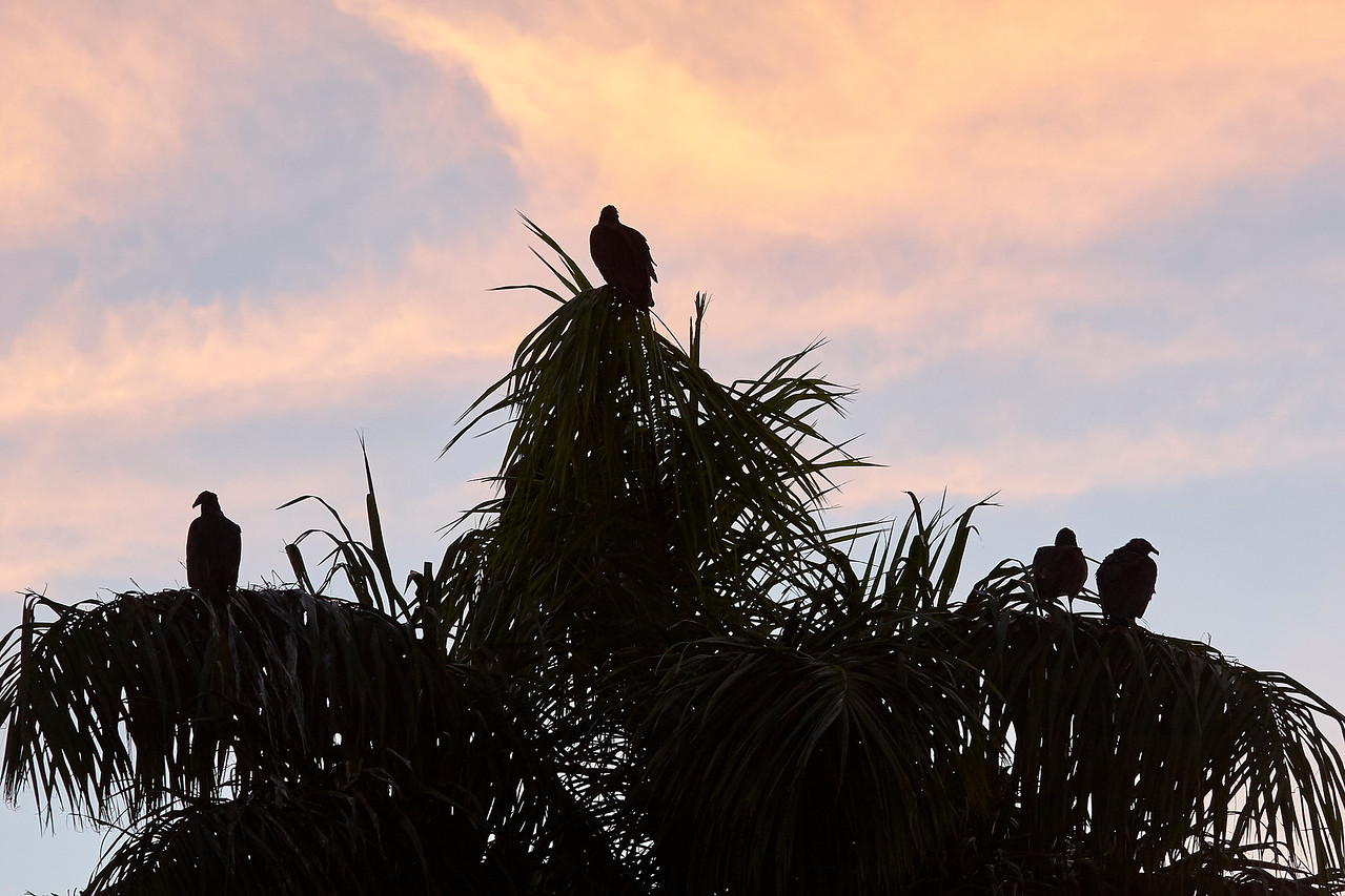 Turkey Vulture Silhouettes