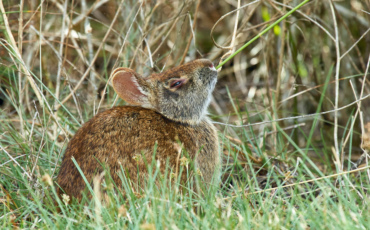 Marsh Rabbit Feeding