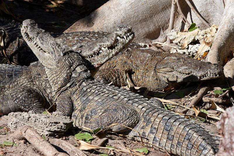 Aligators Basking