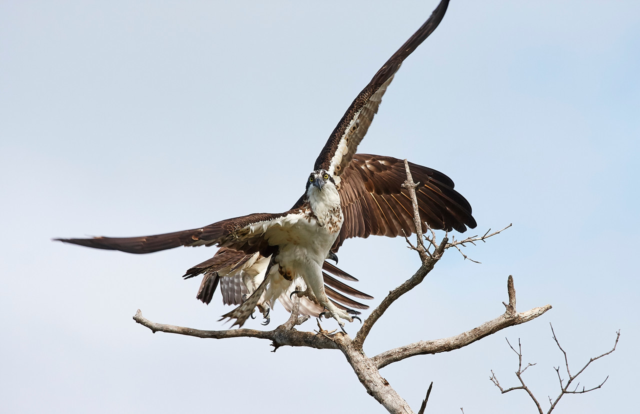 Osprey Pair On Sanibel Island