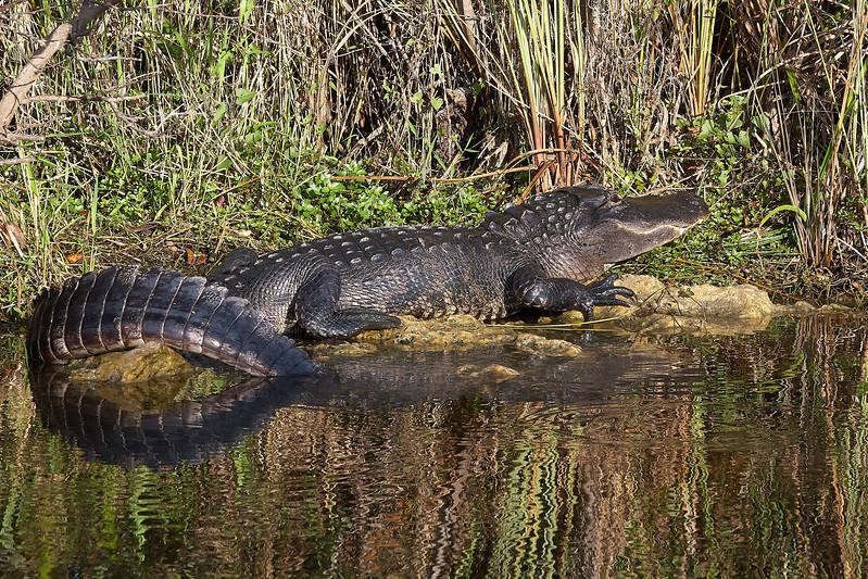 13 Foot Aligator
