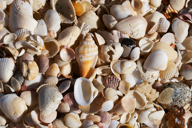 Captiva Island Shells