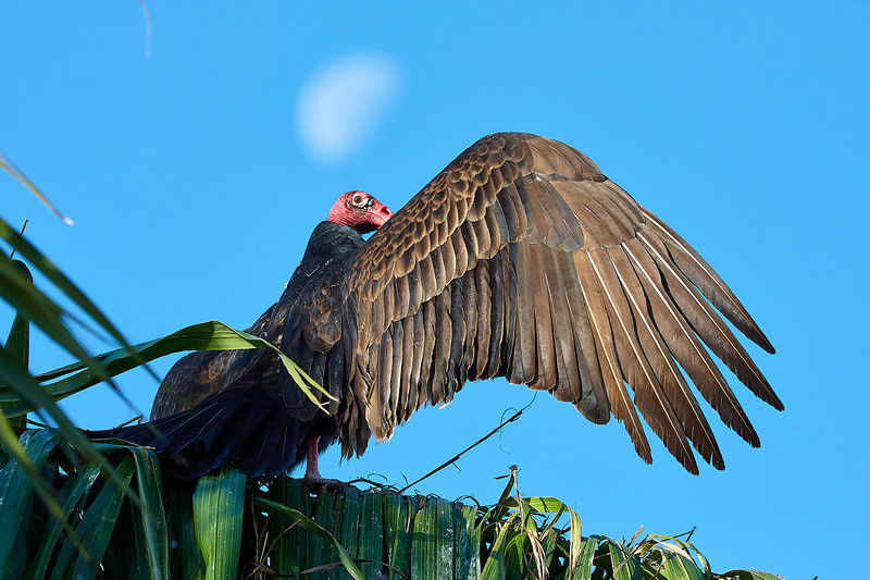 Turkey Vulture Warming up