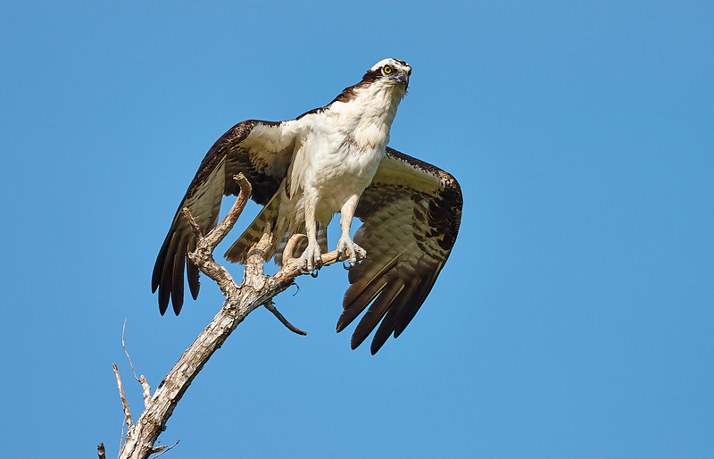 Osprey Drying Wings