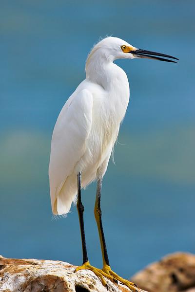 Crested Egret