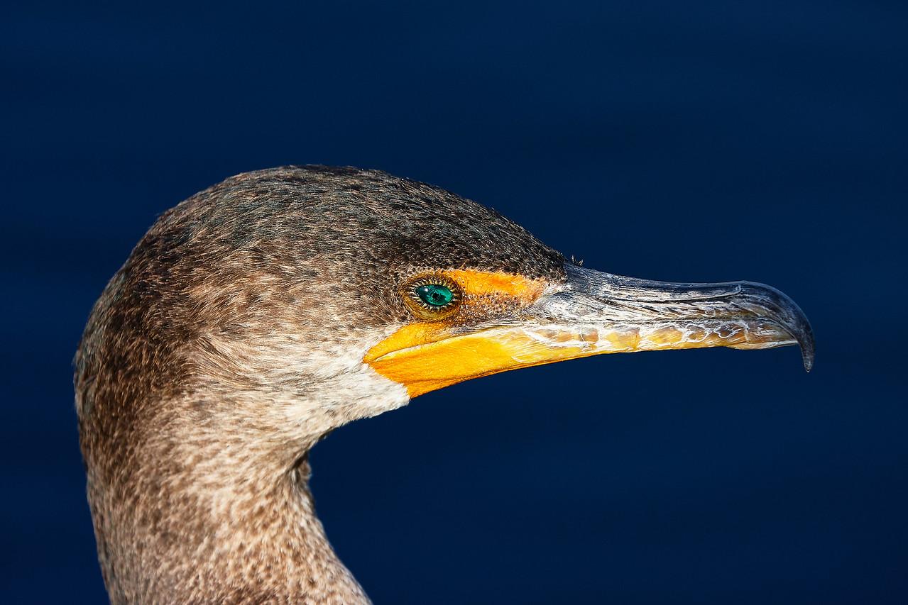 Cormorant Profile