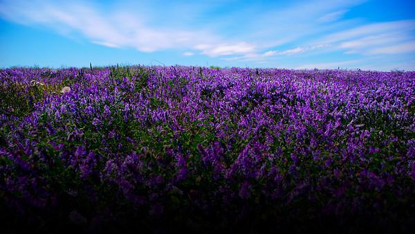 Steves Purple Flowers
