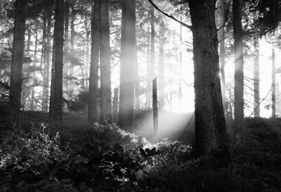 Forest Light  Patrick's Point State Park, CA
