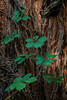 Redwood Berries<br /> <br /> Headwaters Forest Reserve, Eureka, CA