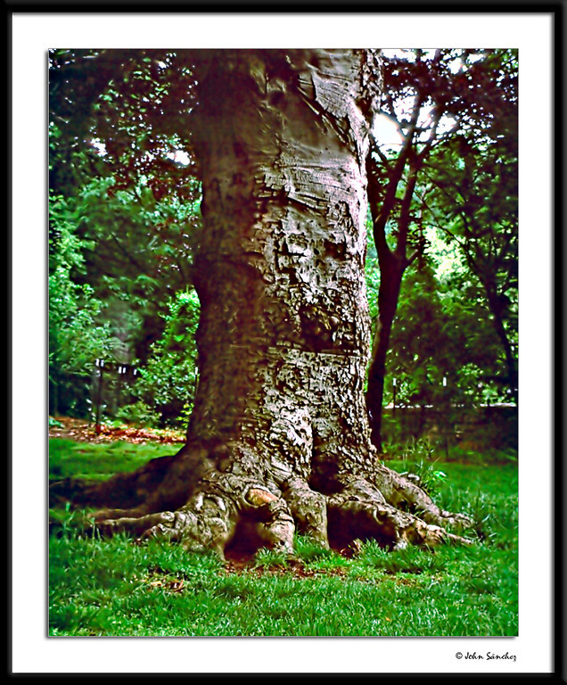 Arborcide No. 1<br /> In Memoriam:The Elephant's Foot Tree<br /> <br /> A few weeks after I photographed this tree, it was vandalized so badly it had to be cut down.  Strangely, the pictures of the tree came out dark and fuzzy and needed heavy editing, yet the others were fine.  Cue the Twilight Zone music.