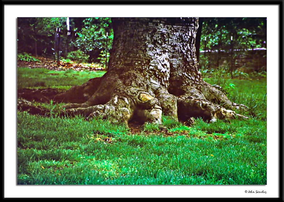 Arborcide No. 2<br /> In Memoriam:The Elephant's Foot Tree<br /> <br /> A few weeks after I photographed this tree, it was vandalized so badly it had to be cut down.  Strangely, the pictures of the tree came out dark and fuzzy and needed heavy editing, yet the others were fine.