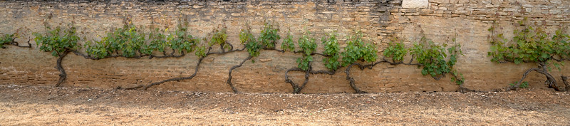 Old Grape Vines hug an Ancient Wall