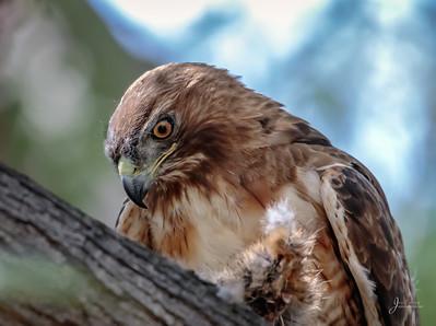 Red-shouldered Hawk close up