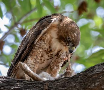 Juvenile Red Shouldered Hawk Eating Rabbit